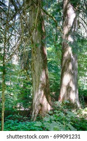 huge  Western Red cedar  ( Thuja plicata ) Grove of the patriarchs, Ohanapecosh, Mount Rainier National Park, Washington
