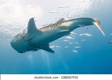 Huge Whale shark with remora and Cobia in a blue ocean