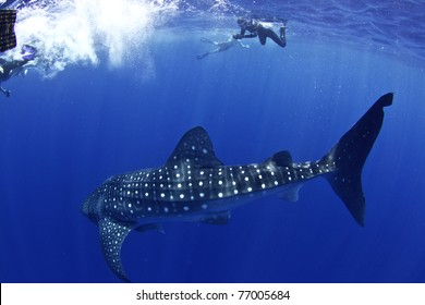A huge whale shark turns towards his admirers in Utila honduras.