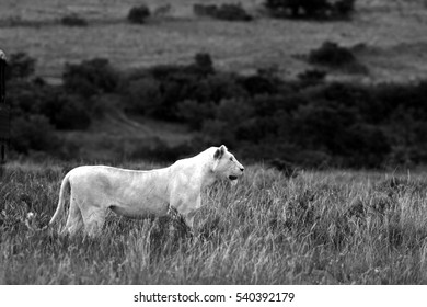 A huge white lion / lioness walking past. Taken in black and white.  South Africa