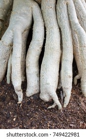 Huge white tree root, close up