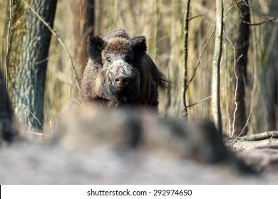 A huge wild boar is looking directly at the camera