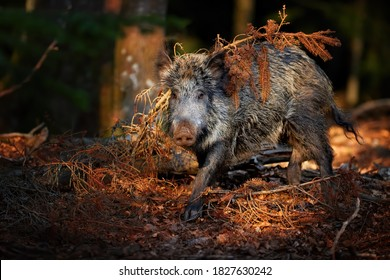 Huge Wild boar, Sus scrofa with its snout on the ground looking for food in colorful autumn spruce forest, staring directly to camera. Europe.