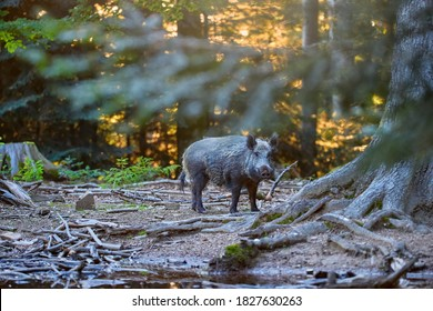 A huge wild boar, Sus scrofa against rays of setting sun in a colorful autumn spruce forest, with a snout at the ground looking for food. Hunting season, Europe.