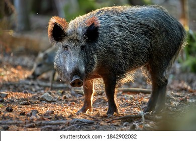 Huge Wild boar, Sus scrofa in colorful autumn spruce forest, looking directly to camera. Hunting season, Europe.