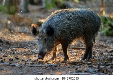 A huge wild boar, Sus scrofa in a colorful autumn spruce forest, with a snout at the ground looking for food against blurred background. Hunting season, Europe.