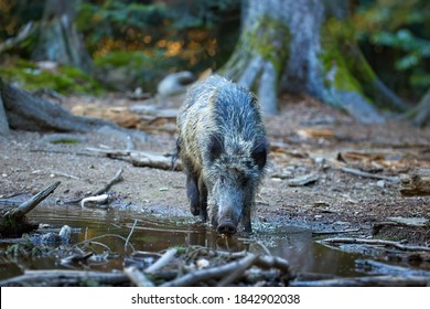 Huge wild boar, Sus scrofa drinks water from a forest lake, spruce forest in the background. Direct view. Hunting season, Europe.