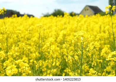 Huge yellow field of rapeseed or oilseed rape plants (lat. Brassica napus) massively cultivated at czech countryside for profit and mostly used to make organic fuel and biodiesel by Agrofert companies