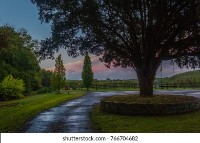 Huge Yew tree with pink sky background