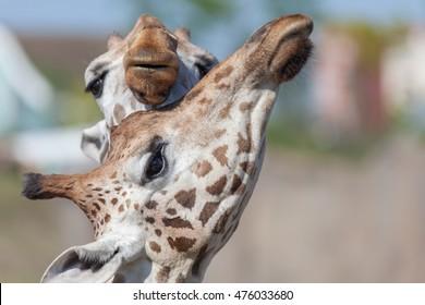Hugging giraffes