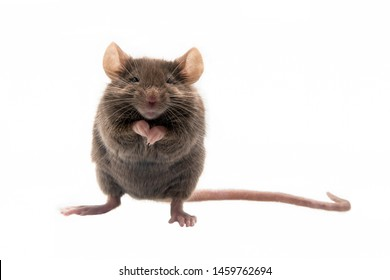 Huismuis, House Mouse, Mus musculus