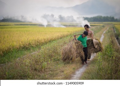 Huizhou, China - February 20 2016: Farmers are harvesting on the rice field in rural Guangdong area.