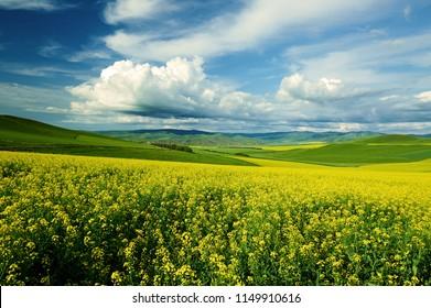 Hulunbuir grasslands rape flowers of inner Mongolia,China.