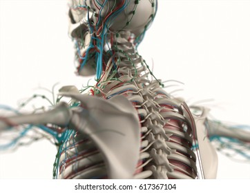 Human anatomy body. Spine, back, scapula. Skeletal, organs, vascular, lymph and nervous systems. Professional lighting and rendering. 3d illustration.