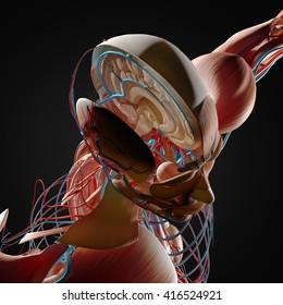 Human anatomy, brain. 3D illustration.