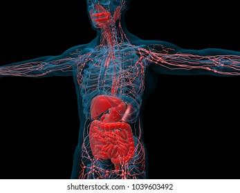 Human anatomy. Degestive system. 3d illustration
