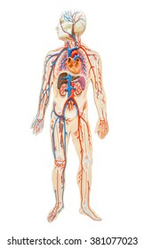 Human anatomy of man on white background, save clipping path. For paramedic.