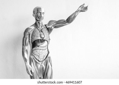 human anatomy model with black and white color