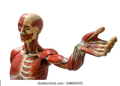 Human anatomy model isolated on white background with clipping path
