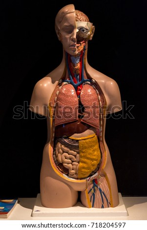 Human Anatomy Model Picture Human Anatomical Stock Photo Edit Now