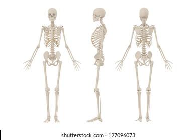 Human anatomy and skeleton