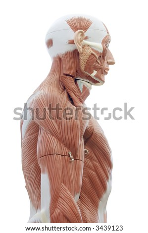 Human Anatomy Structure Head Trunk Muscles Stock Photo Edit Now