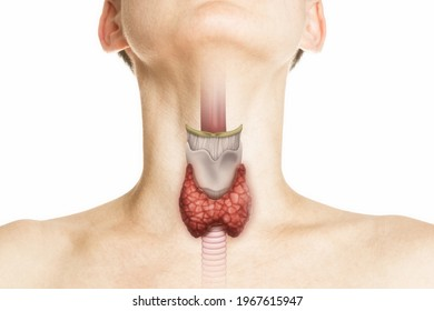 Human anatomy. Thyroid gland in human body on white. Thyroid control.