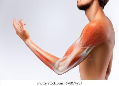Human arm musculature. Anatomy of human arm.