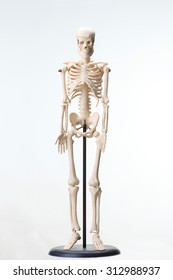 Human being, skeleton, model