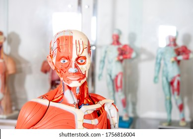 Human body, Anatomical mannequin, muscular and skeleton system, head and neck