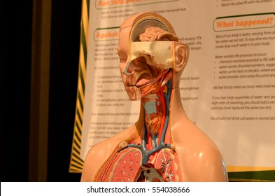 Human body anatomy in 3d model close view