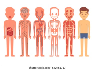 Human body anatomy . Male skeleton, muscular, circulatory, nervous and digestive systems. Human functioning system cartoon illustration