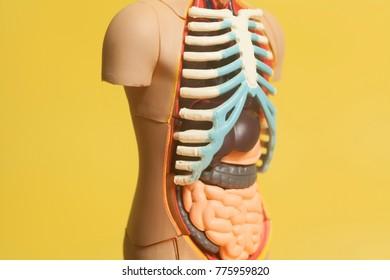 Human Body Anatomy Model  on a yellow background .