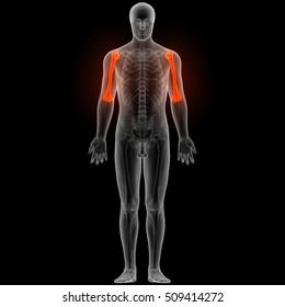 Human Body Bone Joint Pains (Humerus Bone). 3D