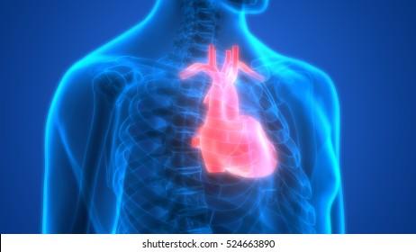Human Body Organs (Heart Anatomy). 3D