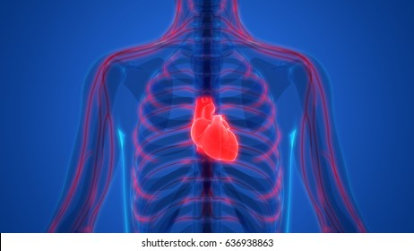 Human Body Organs (Heart with Nervous System Anatomy)