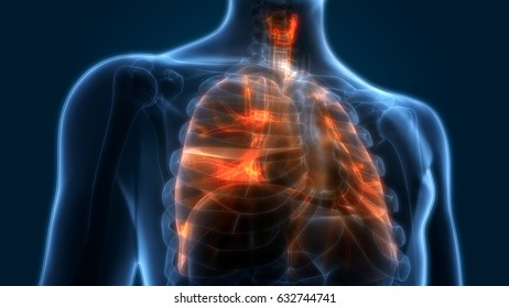 Human Body Organs Lungs Anatomy 3 D Stock Illustration 635525222