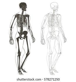 Human body parts skeletal man anatomy illustration isolated