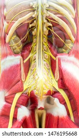 Human body, skeleton and muscular system