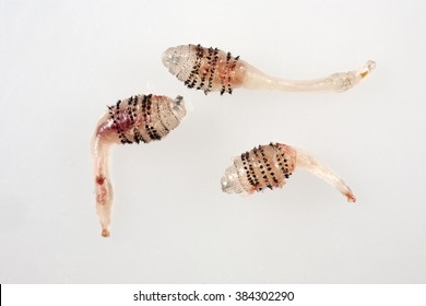 Human botfly larva - Dermatobia hominis