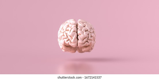 Human brain Anatomical Model, front view