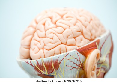 Human brain anatomy model for education physiology