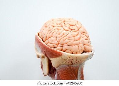 Human brain anatomy model for education