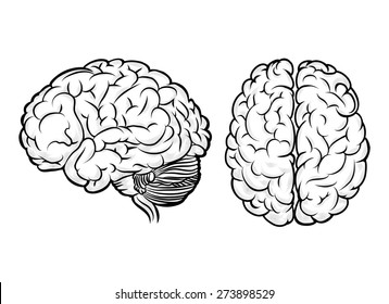 Human brain. Anatomy and science, medicine and head, intelligence and think