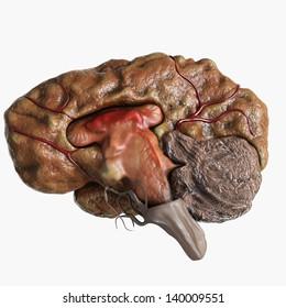 Human Brain Cross Section
