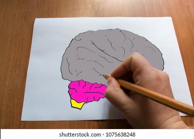 Human Brain Diagram . Artificial model of the human brain. Drawn Human Brains