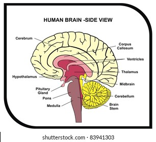 Human brain diagram images stock photos vectors shutterstock human brain diagram side view with parts cerebrum hypothalamus thalamus pituitary ccuart Gallery