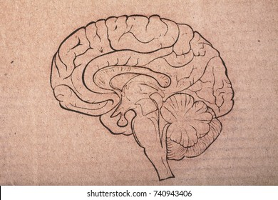 Human brain painted on the cardboard sheet.