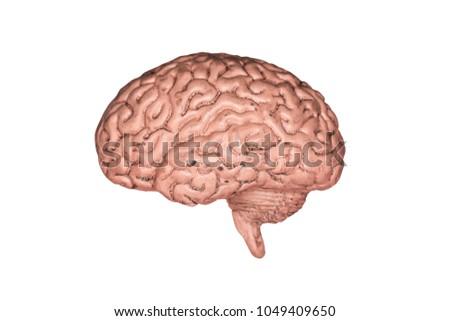 Human Brain Part Anatomy Human Body Stock Photo (Edit Now ...