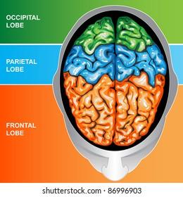 Human brain view top